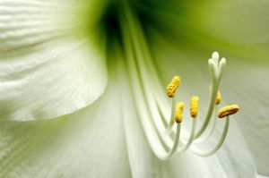 Easter Lilly 2.jpg